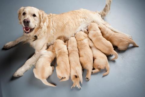 Cuál es la alimentación adecuada de un cachorro leche materna