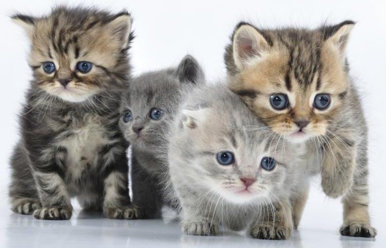 Cuáles son los mejores cruces de razas en los gatos