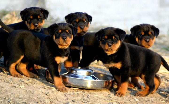 Cuál es la alimentación adecuada de un cachorro
