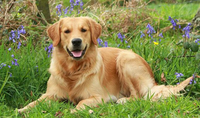 Razas más amigables de perros golden Retriever