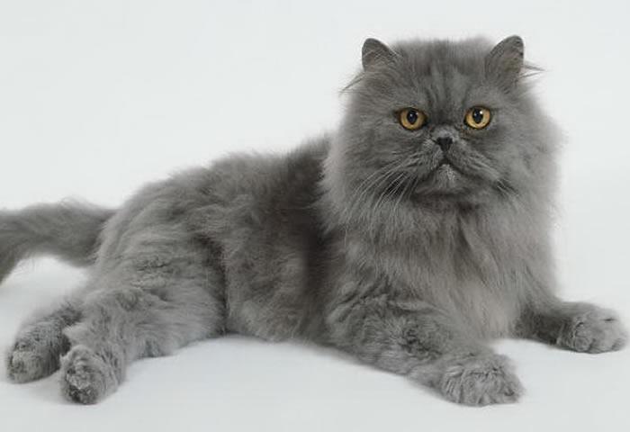 Razas más conocidas de gatos Persa