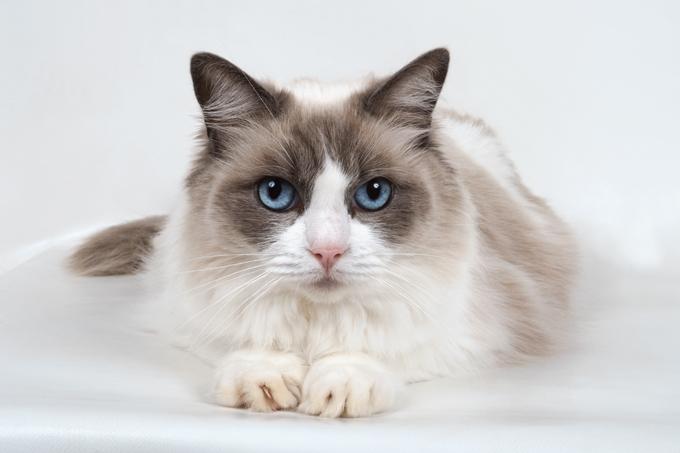 Razas más conocidas de gatos Ragdoll cat