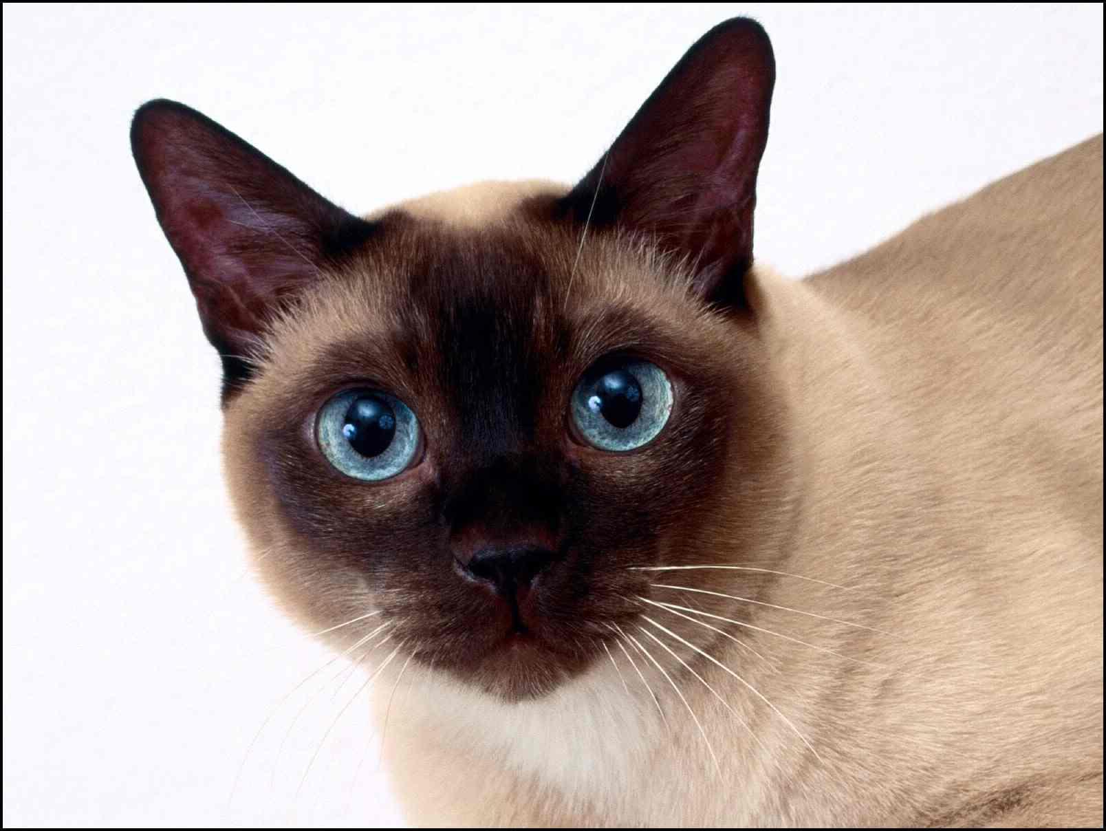 Razas más conocidas de gatos Siames