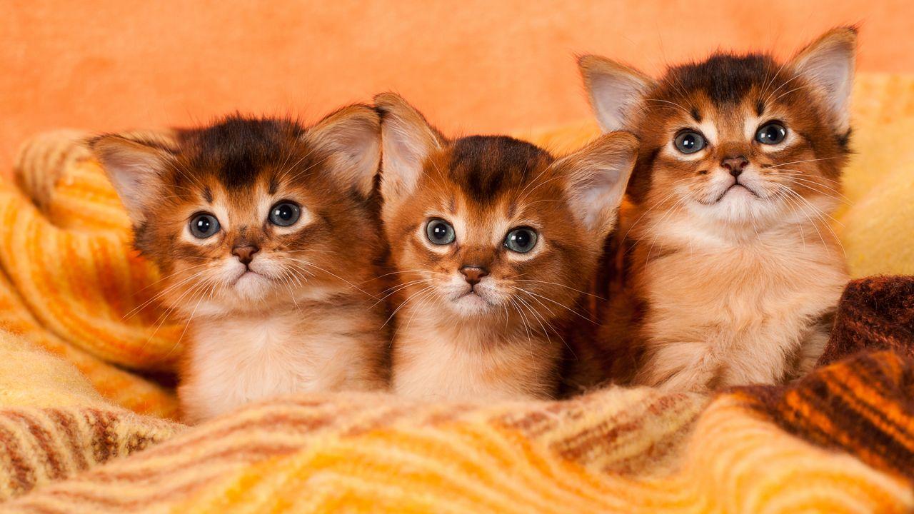 Razas más conocidas de gatos Somali