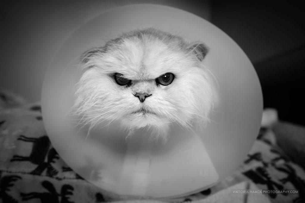 Cómo desparasitar a tu gato collarin
