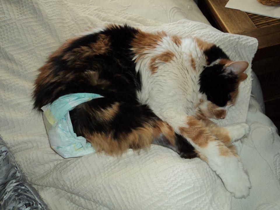 Cómo evitar el celo en las gatas