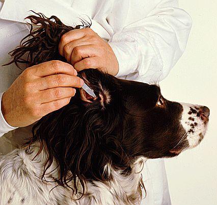 Cómo limpiar las orejas de tu perro paso 2