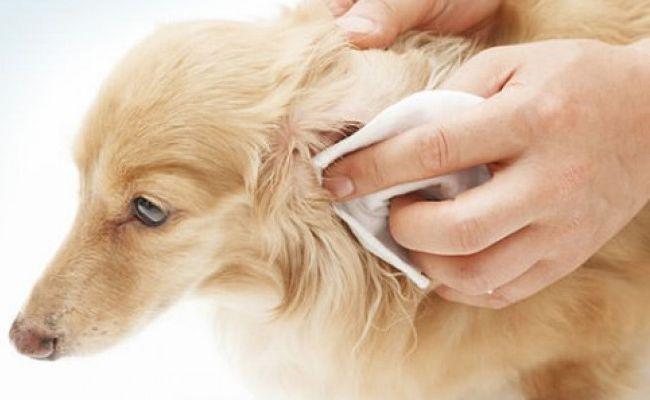 Cómo limpiar las orejas de tu perro paso 3 y 4