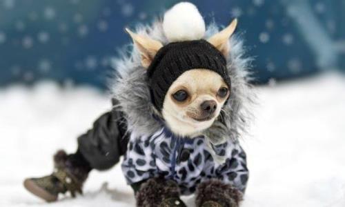Cómo vestir a un perro