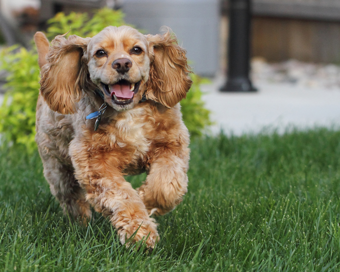 American Cocker Spaniel Running Outdoors