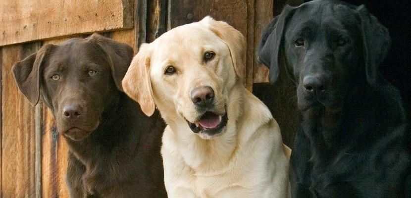 Razas más amigables de perros labrador retriever