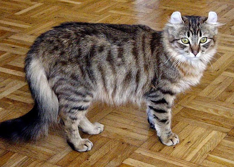 Razas más conocidas de gatos Bobtail americano
