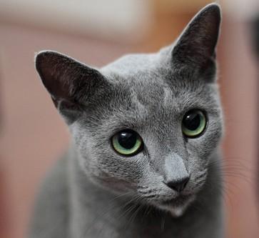 Razas más conocidas de gatos Ruso azul