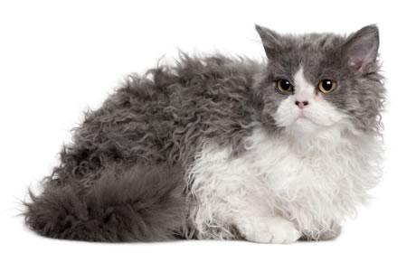 Selkirk Rex raza de gato