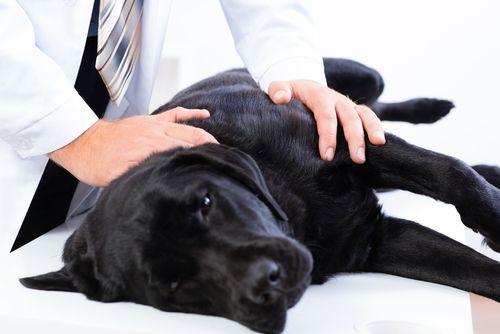 Cómo dar los primeros auxilios a mi mascota, después de un accidente