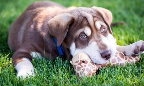 Cómo enseñar a tu perro a no morder las cosas
