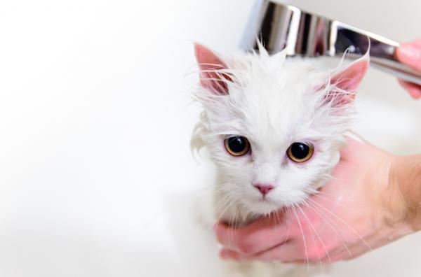 Cómo debo bañar a un gato