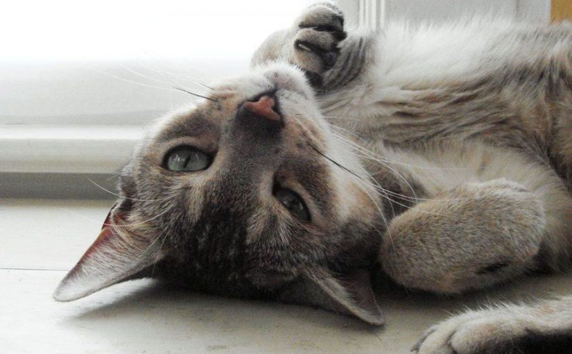 Indicaciones sobre las gatas en celo