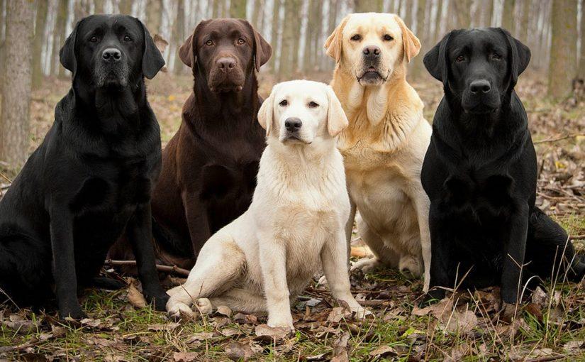 Cuál es la mejor raza de perro para los niños