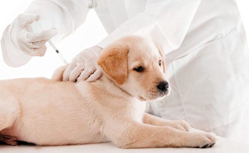 Pasos para la vacunación en los perros