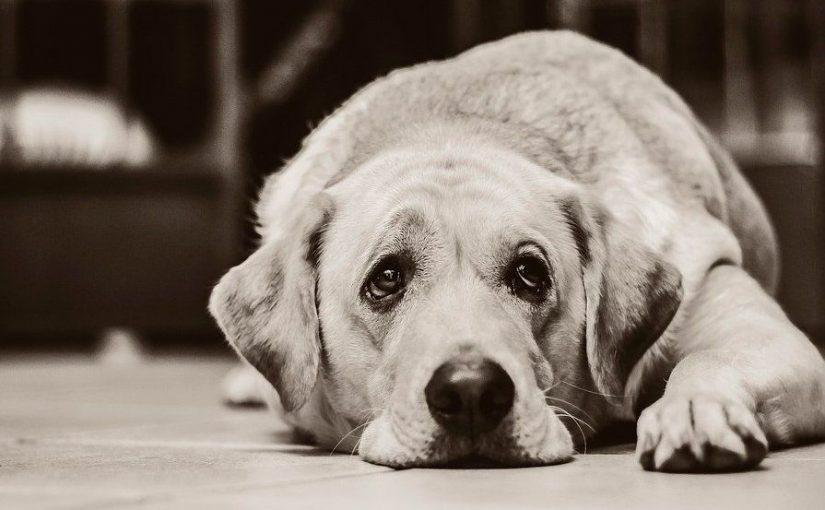 ¿Por qué mi perro se ve triste? ¿Qué hago para animarlo?