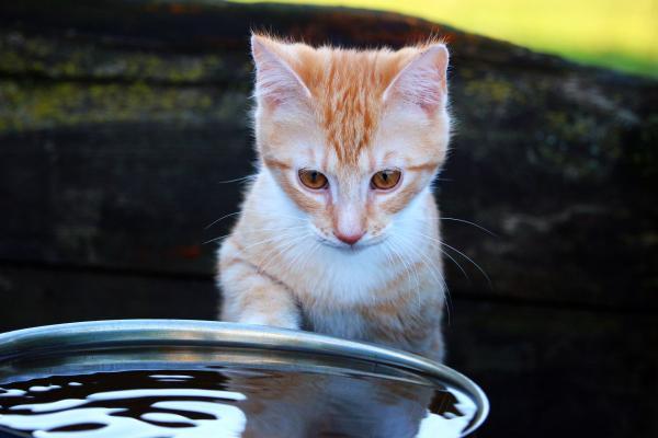 Qué cantidad de agua debe beber un gato