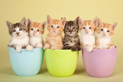 Razas más conocidas de gatos