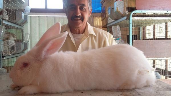 Conejo Gigante de Flandes imagen