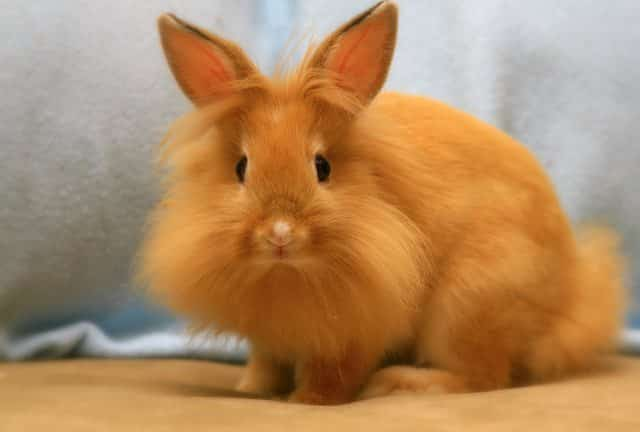 Conejo cabeza de león imagen