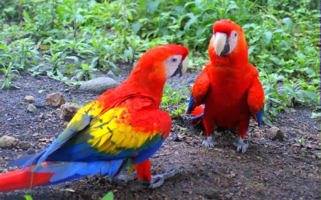 Guacamaya macao imagen 1