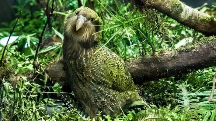 Kakapo imagen 4