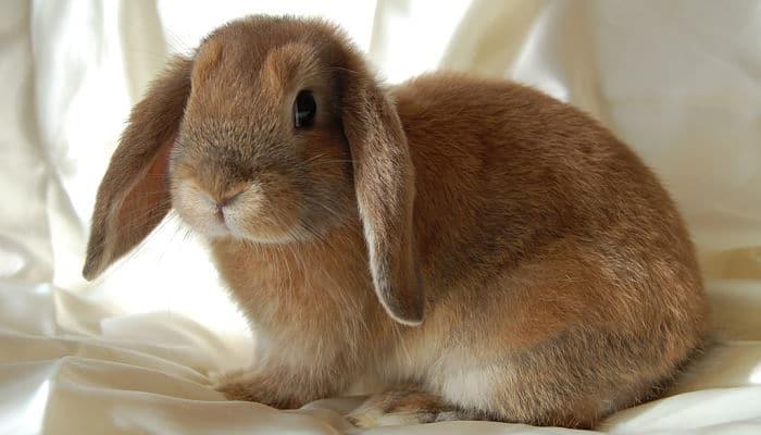 Clases y Razas de Conejo