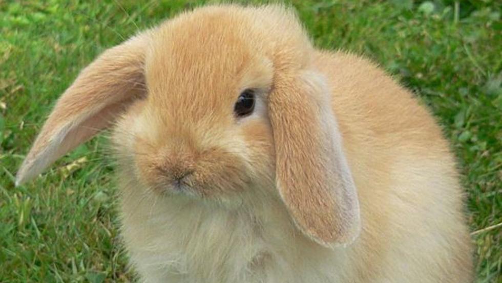 conejo belier imagen