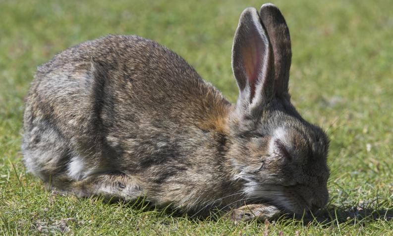 conejo con rabia