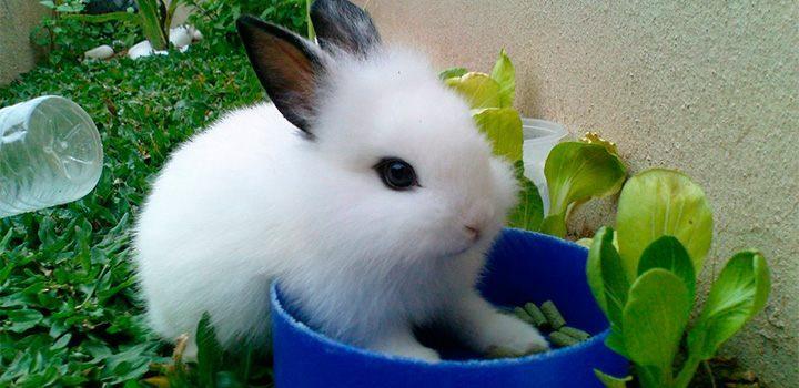 conejo hotot imagen