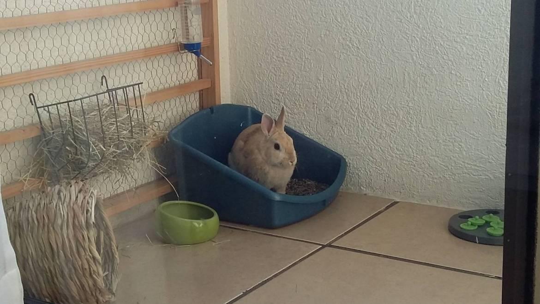 Ventajas y Desventajas de Tener un Conejo como Mascota