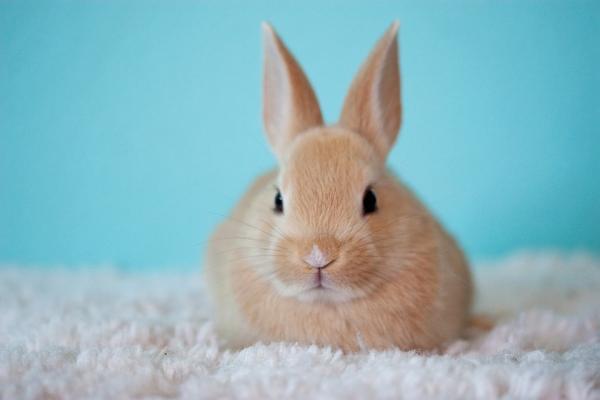 El Conejo Toy, un Pequeño y Tierno Compañero