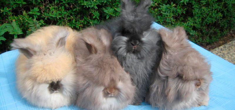 conejos angora imagen