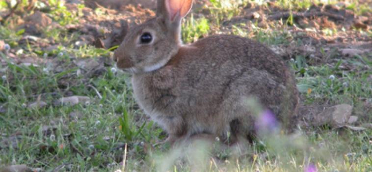 conejos australia imagen 2