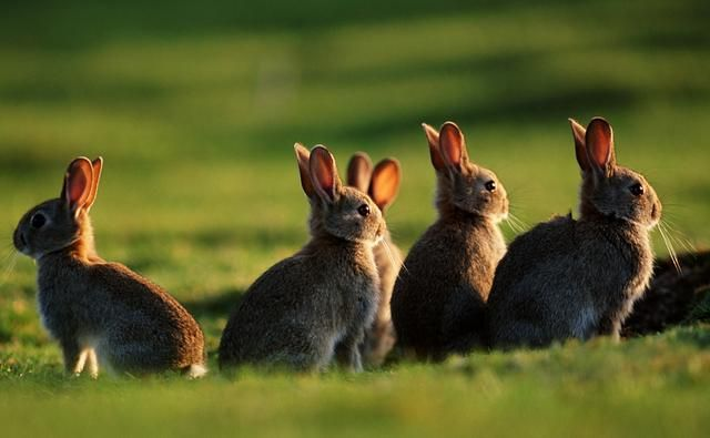Australia, Prohibido tener un Conejo de Mascota