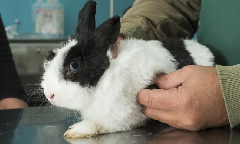 Posibles Enfermedades Transmitidas por los Conejos