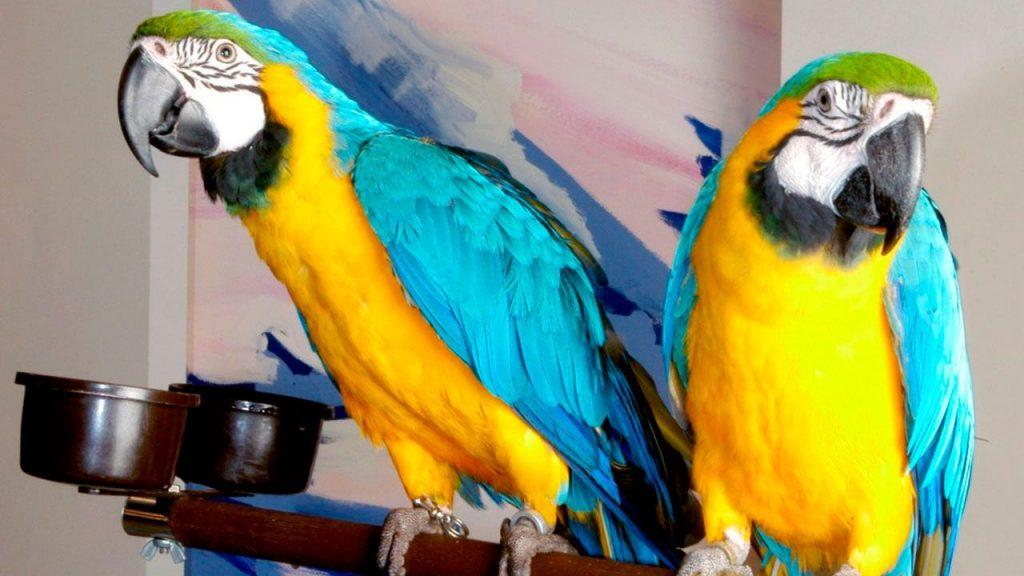 guacamayo azulamarillo imagen