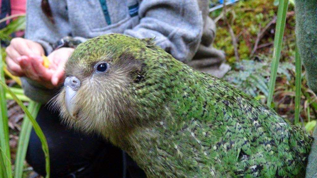 El Kakapo, El Loro que no Puede Volar